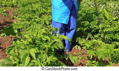 Gardener fertilize potato - Gardener in protective workwear...
