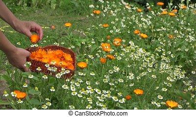 gardener girl gather marigold herb blooms to heart shape dish. 4K