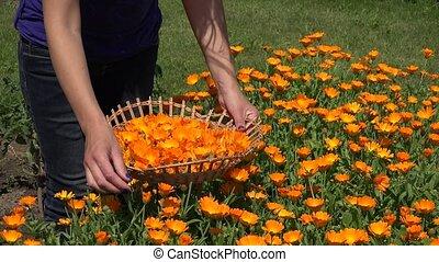gardener girl hands gather marigold herb flower bloom to wicker basket. 4K