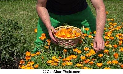 gardener guy hands gather marigold herb flower bloom to wicker basket. 4K