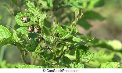 Gardener hand pick colorado beetles bugs parasite insect...