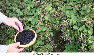 gardener hands picking blackberries - farmer gardener hands...