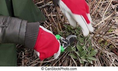 Gardener hands with scissors close up