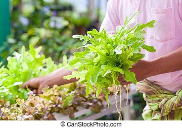 Gardener harvesting fresh green lettuce salad organic at vegetable garden