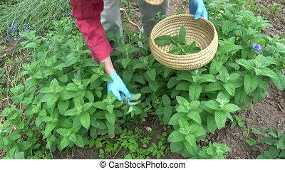 Gardener herbalist picking fresh medical mint plants in...