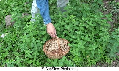 Gardener herbalist picking fresh mint herb in midsummer...