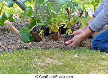 gardener holding a tomato seedling to planting in garden