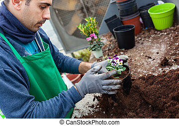 Gardener in a greenhouse transplant pansies for sale.