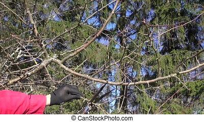 pruning apple tree in spring - Gardener in black gloves and...