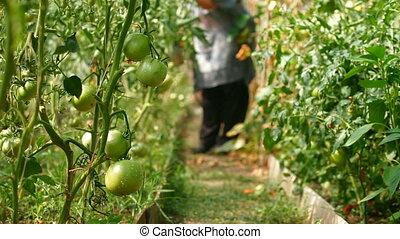Gardener in Vegetable Greenhouse