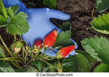 Gardener is holding ripe strawberries in hand dressed in blue latex glove