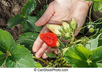 Gardener is holding strawberries in hand.