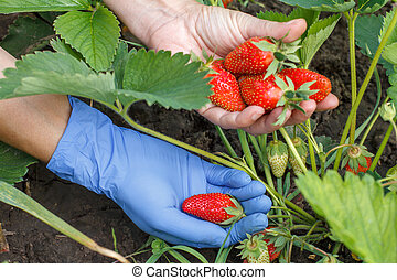 Gardener is picking fresh red ripe strawberries.