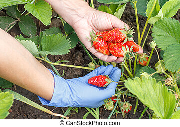 Gardener is picking fresh red ripe strawberries