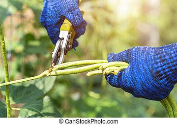 Gardener keeping green fresh long bean plants in vegetable garden
