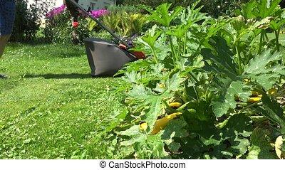 gardener man cut wow meadow lawn grass near zucchini plants....