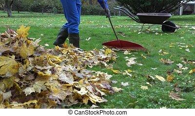 gardener man rake fall leaves and empty cart during autumn works in yard. 4K