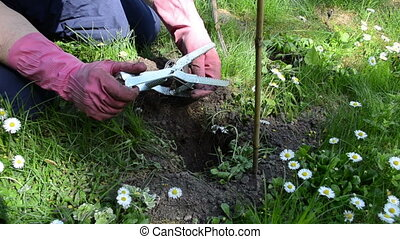 gardener mole trap - Gardener put special steel mole trap...