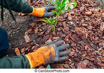 Gardener mulching spring garden with pine wood chips mulch. Man puts bark around plants