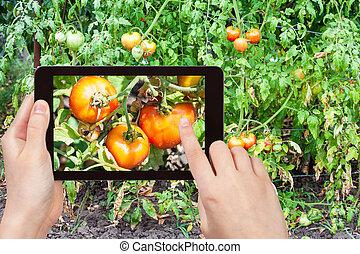 gardener photographs of ripe tomatoes in garden