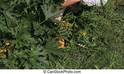 gardener pick courgette