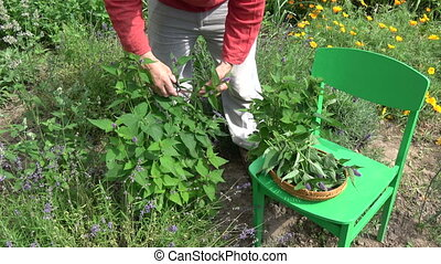 Gardener picking Fresh medical herb Anise hyssop Agastache...