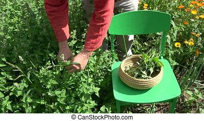 Gardener picking fresh medical lemon balm mint plants - ...