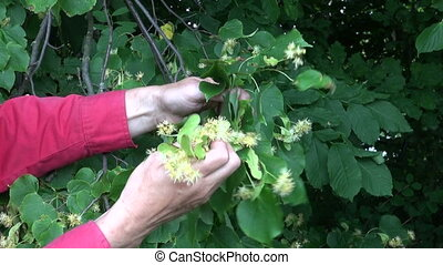 Gardener picking linden tree blossoms