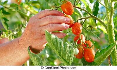 Gardener Picking Ripe Tomato