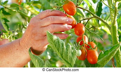 Gardener Picking Ripe Tomato