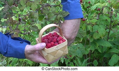 gardener picking wild raspberry - gardener in farm picking...