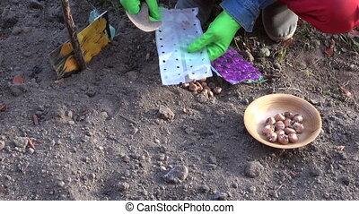 Gardener planting crocus plant - Gardener wearing green...