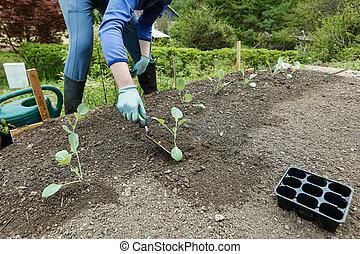 Gardener planting, plowing the broccoli seedlings in freshly...