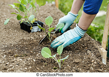 Gardener planting, plowing the broccoli seedlings in freshly...