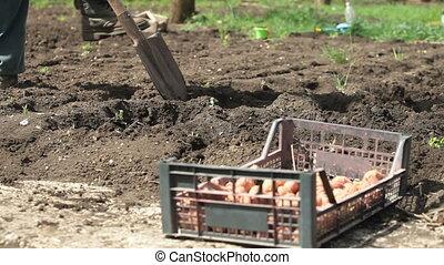 Gardener Planting Potatoes