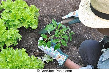 gardener planting tomato plant