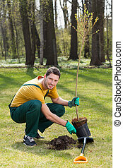 Gardener planting young tree