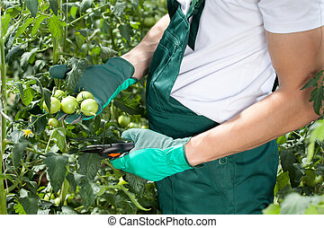 Gardener pruning tomatoes