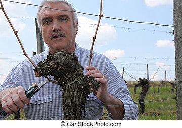 Gardener pruning vines