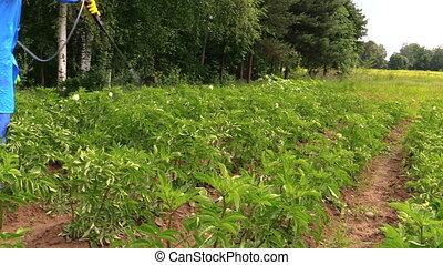 Gardener spray vegetable - Gardener man spray vegetables in...
