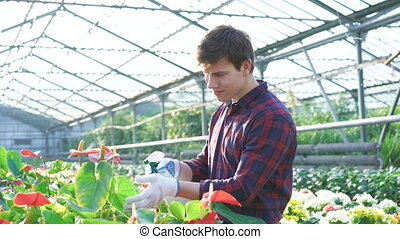 Gardener spraying flowers in gardenhouse