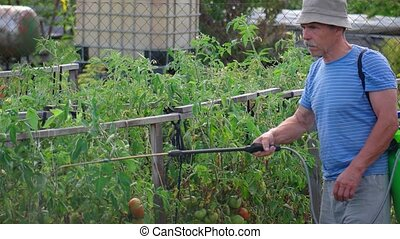 Gardener spraying pesticides on his tomato vines - Home ...