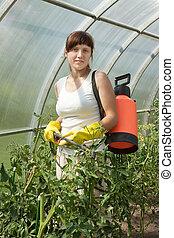 gardener spraying tomato plant