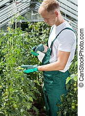 Gardener spraying tomatoes in greenhouse