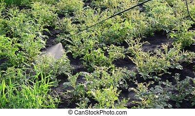 Gardener sprays pesticides on potato leaves beetles