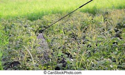 Gardener sprays pesticides on potato leaves beetles - A...
