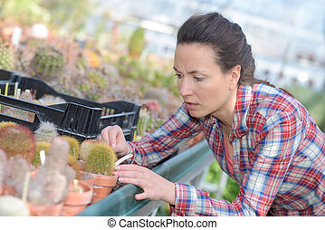 gardener taking care of small cacti in greenhouse