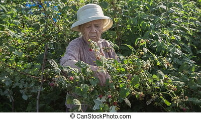 Gardener - The grandmother at the age of 90 years gathers...