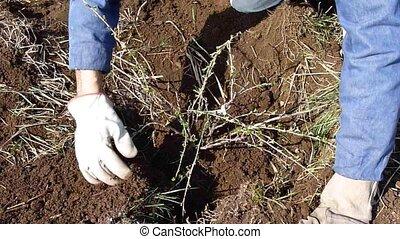 gardener transplanting