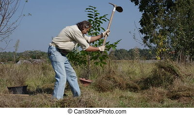 gardener transplanting tree - gardener sets a chestnut tree...
